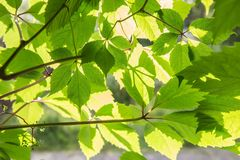 green leaves in bright sunlight royalty free stock photography