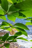 green leaves in bright sunlight royalty free stock image