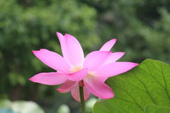Green leaves bring out the shine of pink lotus flowers stock photo