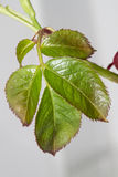 Green leaves. Bud of green leaves of rosebush Royalty Free Stock Photo