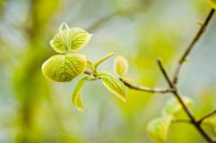 Green leaves budding in spring. Closeup of fresh green leaves budding in spring Stock Photography