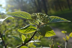 Green leaves and buds of bush flowers glow in the sun Royalty Free Stock Photos