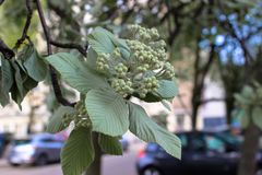 Green leaves and buds inflorescence of chestnut stock photo