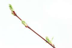 Green leaves and buds on a tree branch. Stock Photo