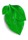 Green leaves bunch with waterdrops Stock Photography
