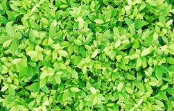 Green leaves bush background Royalty Free Stock Photography