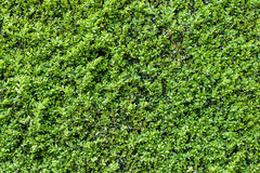 Green leaves on bush Royalty Free Stock Image