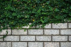Green Leaves on old wall brick background. Green Leaves Bush on old wall brick background royalty free stock image
