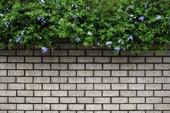 Green Leaves Bush on old wall. Brick background stock photography