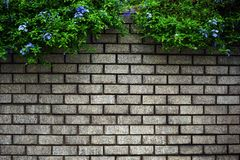 Green Leaves Bush on old wall brick. Background royalty free stock photography