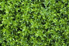 Green leaves of the bush Stock Images