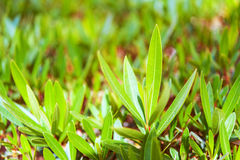 Green leaves of bush Royalty Free Stock Photo