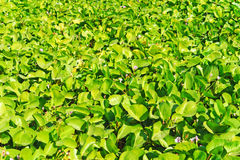 Green leaves of bush Royalty Free Stock Image