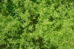 Green leaves or bush tree wall background. Textured royalty free stock photos