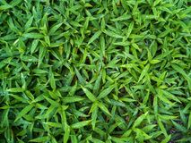 Green leaves or bush tree wall background. Textured stock image