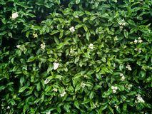 Green leaves or bush tree wall background. Textured stock photography
