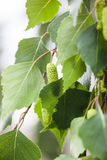 Green leaves and catkins of the birch tree Stock Photos