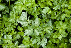 Green leaves of celery Stock Photography