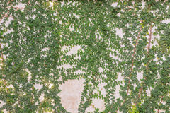 green leaves on cement wall textured for background Stock Photo