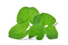Green leaves of centella asiatica, asiatic pennywort,centella. Asiatica linn. urban. tropical herb isolated on white background Royalty Free Stock Photos
