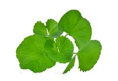 Green leaves of centella asiatica, asiatic pennywort. Centella asiatica linn. urban. tropical herb isolated on white background Royalty Free Stock Photos