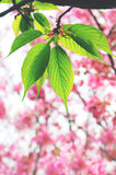 Green leaves with cherry blossoms background stock photo