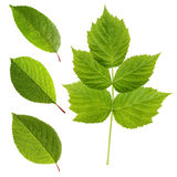 Green leaves of cherry and raspberry isolated on a white backgro Royalty Free Stock Photography