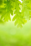 Green leaves of chestnut. On the green background stock photo