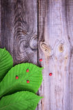 Green leaves of chestnut on a gray wooden surface. Empty space Royalty Free Stock Image
