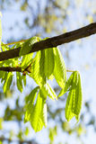 Green leaves of chestnut Royalty Free Stock Photo