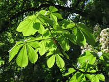 Green leaves of chestnut tree Stock Photography