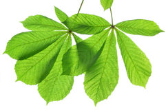 Green leaves of chestnut tree Royalty Free Stock Photos