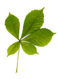 Green leaves of chestnut tree isolated on white. High resolution green leaves of chestnut tree isolated on white background Stock Photo