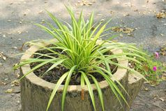 Green leaves of Chlorophytum comosum Royalty Free Stock Image