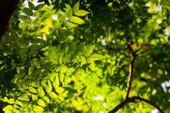 Leaves of a tree in a sunlight royalty free stock images