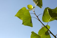 Green leaves and clear blue sky. Green leaves in the summer against a clear blue sky with selective focus Royalty Free Stock Photos