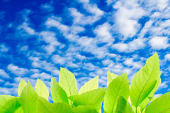 Green leaves with clear bule sky Stock Images