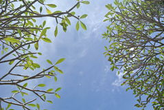 Green leaves and clear sky Royalty Free Stock Photography