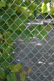 Green leaves of a climbing plant of wild grapes, blue metal fence, fence of chain-link, against the background of cement. Garden trees on a sunny day spring royalty free stock photo