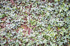 Green leaves climbing on the wall Royalty Free Stock Photo