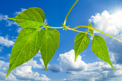 Green leaves. With clipping path. Green leaves and sky. With clipping path Stock Photos