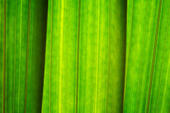 Green leaves,close-up. Long green leaves with line structured surface,close-up Stock Photo