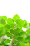 Green Leaves Close-up Royalty Free Stock Photography