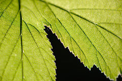 Green leaves. Stock Images