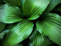 Green Leaves. Close up of green leaves Royalty Free Stock Photography