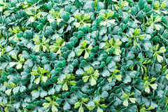 Green leaves close-up. Green cover leaves close-up Royalty Free Stock Images