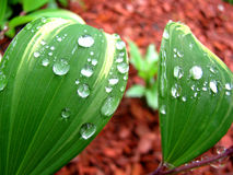 Green Leaves Close-up Dew Drops Royalty Free Stock Images