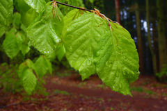 Green leaves close-up in the forest in rainy day. Royalty Free Stock Image