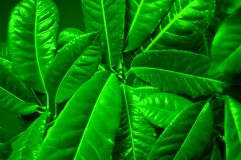 Green leaves Close up Royalty Free Stock Photography