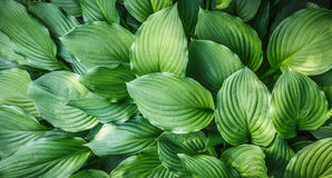 Green leaves close up natural background Royalty Free Stock Image